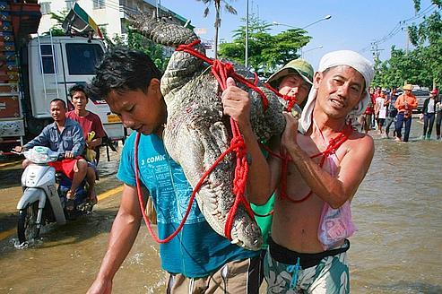 Chasse au crocodile dans les rues noyées de Bangkok