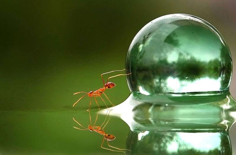 <b>Infime «sisyphe»</b>. Pour réaliser cette image, le photographe indonésien Teguh Santosa s'est amusé à placer divers obstacles sur la route détrempée empruntée habituellement par les fourmis qui pullulent autour de chez lui. Après avoir disposé des billes de verre, qui ont plongé les insectes dans une profonde perplexité, il a pu observer leur étonnante réaction : confrontés à un nouveau problème, certains ont contourné l'obstacle, d'autres l'ont escaladé. Puis l'entomologiste amateur a découvert la perle rare : un minuscule «Sisyphe», qui a décidé, lui, de prendre le problème à cœur et de pousser la bille à la force de ses fines pattes arrière. Rien n'a pu distraire la fourmi de ses vains efforts.