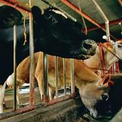 Les animaux nourris aux OGM se portent bien