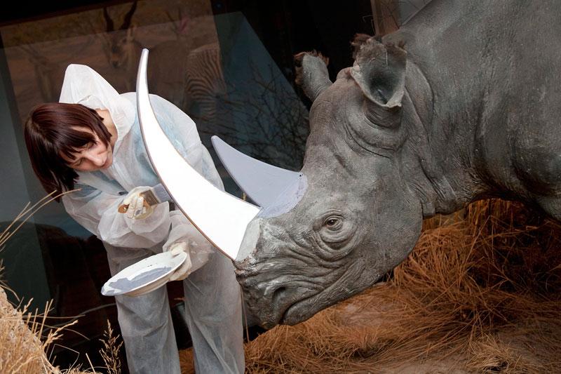<b>Grands moyens</b>. Scier les cornes de rhinocéros et les remplacer par des cornes factices en bois - volontairement coupées grossièrement - pour éviter leur vol ? C'est la solution que le Musée d'histoire naturelle de Berne a trouvé pour se protéger des malfrats qui les volent. Car ce genre de délit se multiplie en Europe. Pas si étonnant que ça, puisque les voleurs peuvent revendre leur butin très cher en Asie - entre 25.000 et 200.000 euros -, où cette corne est supposée avoir des vertus quasi-miraculeuses pour soigner notamment les troubles de l'érection. Elle aurait également le pouvoir d'agir contre le cancer, le paludisme ou l'épilepsie. Une vingtaine de vols ont été constatés cette année, dont le dernier a eu lieu en novembre 2011.
