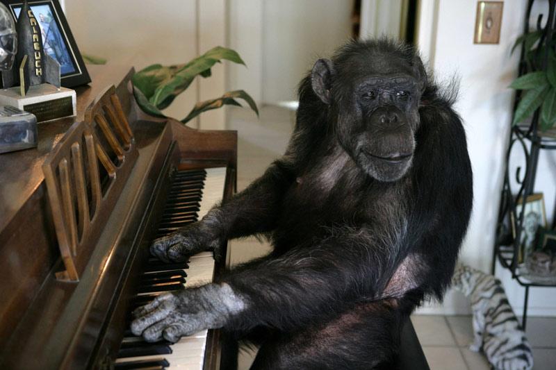 <b>Au revoir Cheetah</b><br /> Le chimpanzé Cheetah, l'un des animaux du cinéma américain les plus célèbres, est mort le 24 décembre en Floride, au Suncoast Primate Sanctuary. Un refuge qui l'avait accueilli dans les années 1960. Annoncé il y a quelques jours, ce décès a provoqué un vif émoi sur internet, bien que des doutent persistent quant à sa réelle identité… En effet, le primate aurait atteint l'âge exceptionnel de 79 ans, un record absolu chez une espèce dont l'espérance de vie en captivité ne dépasse pas les 50 ans.
