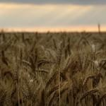 Le blé devrait voir ses cours augmenter.