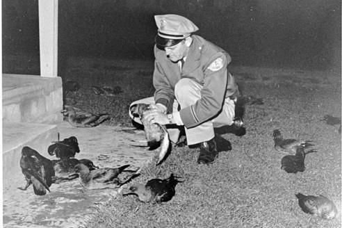 Les oiseaux empoisonnés de Hitchcock