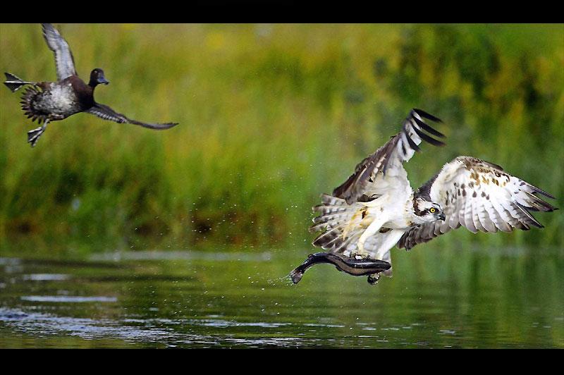 <b>Vol à pattes armées.</b> Gros trafic sur la piste d'envol et d'atterrissage de ce lac écossais. Le canard semble freiner, fasciné par la dextérité du balbuzard. Mais si ce cliché est extraordinaire, c'est aussi parce qu'il montre tout de l'impeccable technique de pêche de ce petit rapace piscivore, doté de pattes incroyablement bien adaptées à son régime alimentaire. Outre ses longues serres préhensiles, composées de deux orteils orientés vers l'avant et de deux vers l'arrière, le balbuzard peut en effet compter sur «l'effet Velcro» de coussinets garnis d'écailles. Et le plus fort, c'est qu'il s'arrange toujours pour accrocher sa proie tête en avant, histoire d'améliorer son aérodynamisme. De quoi scotcher le canard, ailes et pattes en croix !