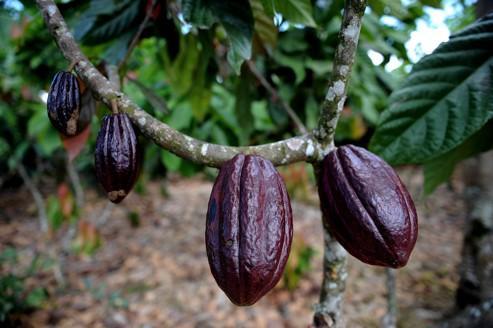 Les cours du cacao rebondissent