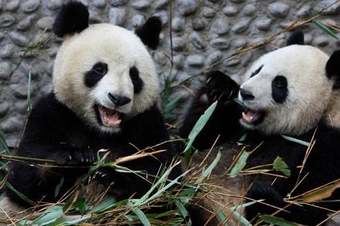 Deux pandas du centre de recherche et d'élevage des pandas géants de Chengdu.