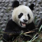 Deux pandas de Chine en route pour la France
