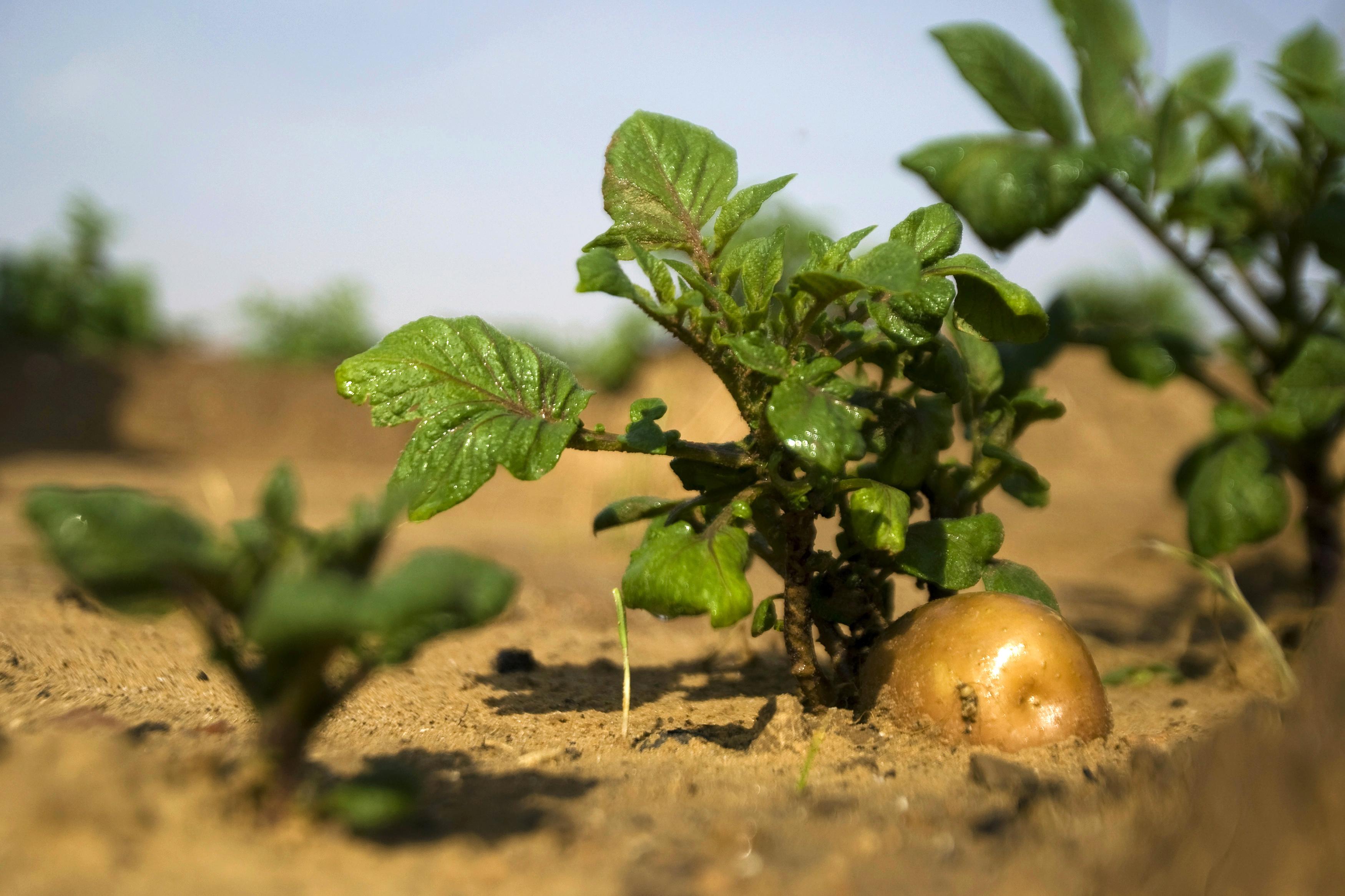 Europe: BASF met fin au développement des OGM