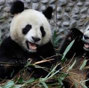 Les pandas chinois font les affaires d'une PME