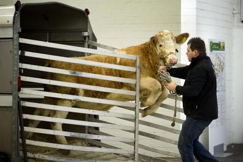 Les bovidés sont une des espèces les plus touchées par le virus «Schmallenberg».