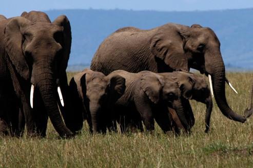 Des éléphants en Australie contre les feux de brousse