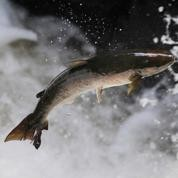 Les poissons d'eau douce ont envahi la mer