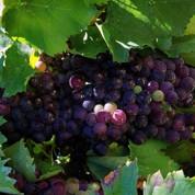 Climat : la teneur en alcool du vin augmente