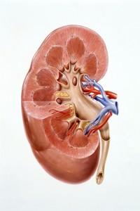 Les maladies rénales tuent sans faire de bruit