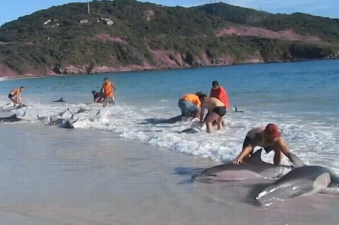 Le groupe de dauphins s'est échoué sans que l'on ne sache pourquoi sur cette plage brésilienne. Capture d'écran.