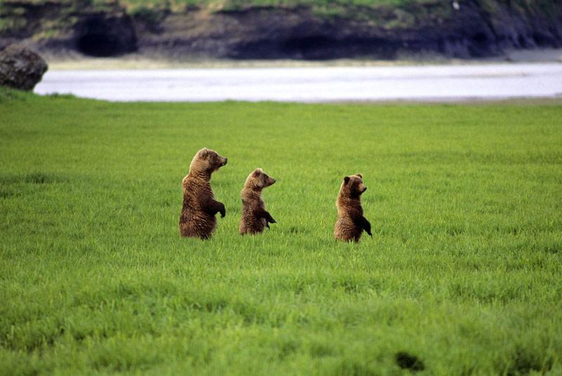 b>OURS AU NATUREL./b> Dressés sur leurs pattes de derrière au milieu des hautes herbes, cette maman ourse et ses deux oursons ont tout l'air de chercher quelque chose. Et comme il ne s'agit sûrement pas d'un saumon, vu l'endroit, le photographe pourrait légitimement s'inquiéter. Sauf que ce cliché a été pris dans le Parc national de Katmai, en Alaska, un paradis pour ours bruns, mais aussi le seul endroit au monde où l'homme leur a permis de rester sauvages tout en leur apprenant à ne pas se montrer inutilement agressifs. Un long travail mené par les rangers, tant auprès des ours que des visiteurs, afin que chacune des deux parties puisse profiter du gigantesque territoire sans trop s'approcher de l'autre. Le résultat, fabuleux, est sous nos yeux.