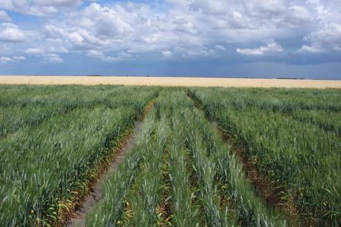 Création d'un nouveau blé tolérant au sel