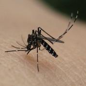 Alerte au moustique du chikungunya en France