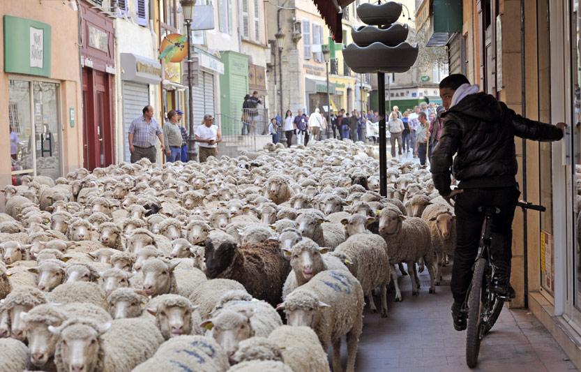 <b>Menacés.</b> Les bergers hurlent au loup à Brignoles. Et lundi, ils ont tiré la sonnette d'alarme. Car selon eux, le loup ne cesse de gagner du terrain, et les méthodes de protection sont insuffisantes. «On protège le loup à tout prix, par tous les moyens, pendant que nos bêtes sont massacrées. Car la seule vraie espèce en voie de disparition aujourd'hui, c'est nous, les bergers, et le pastoralisme!» Rassemblés dans le cadre de la Foire agricole, à l'initiative de la Fédération ovine du Var et de la Confédération paysanne, une centaine d'éleveurs et bergers venus du sud-est de la France ont ainsi protesté contre la réintroduction du prédateur qu'ils accusent de menacer leur bétail et ont exposé leur calvaire quotidien.