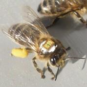 Abeilles: deux insecticides sur la sellette