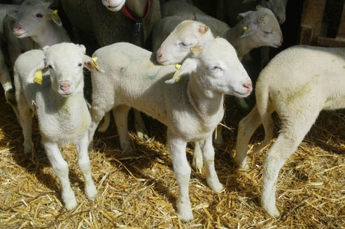 Les ventes d'agneau doublent à Pâques