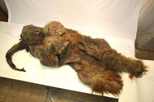 Découverte d'un mammouth aux poils blonds