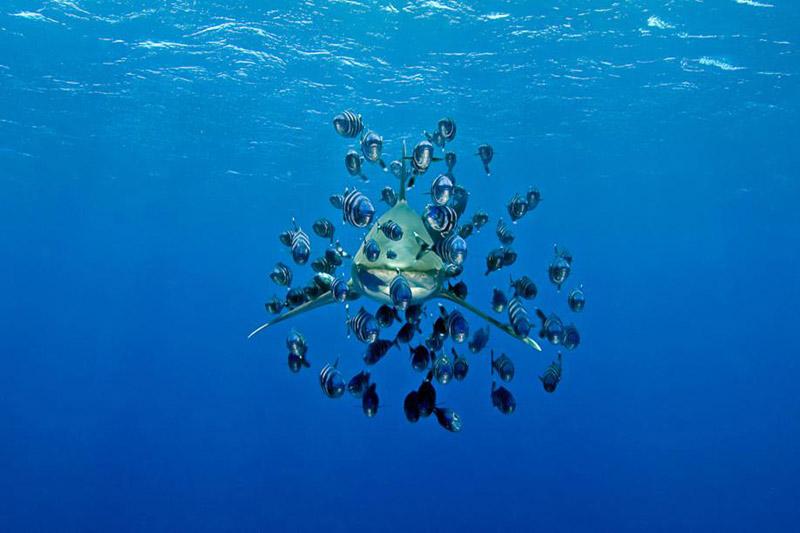 <b>Les pique-assiettes.</b> Dans les eaux chaudes et azur de la mer Rouge, ce requin océanique affamé (ou requin longimane) évolue lentement mais sûrement vers le photographe, pour le moins téméraire. Autour de lui, des poissons-pilotes n'attendant qu'une seule chose: s'emparer des restes du prochain repas de ce squale aux longues nageoires. Cette espèce de requin est connue pour être particulièrement agressive et meurtrière et a été responsable de nombreuses attaques. Il y a deux ans dans cette même zone, une touriste allemande avait été tuée alors qu'elle nageait devant son hôtel. L'International Shark Attack File (Isaf) a recensé, en 2011, 125 attaques de requins contre l'homme dans le monde.