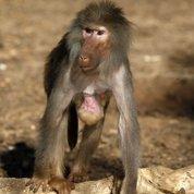 Les babouins capables de lire