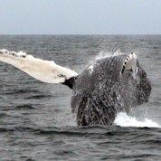 Les baleines sentent les tsunamis