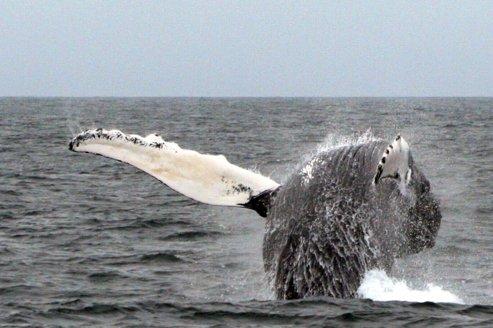 De la baleine bleue au plus petit des dauphins, les cétacés ont fui au moment même où une alerte au tsunami était lancée sur les côtes indonésiennes et sri-lankaises. Crédits photo: Rich Ellison sous licence creative commons.