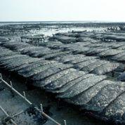 L'acidification des océans tue les huîtres