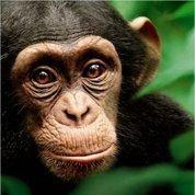 Chimpanzés ,le nouveau documentaire de Disney