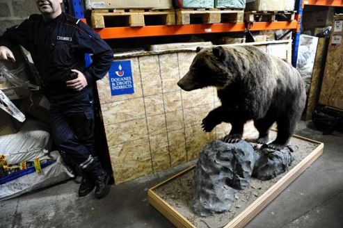 Un grizzli empaillé, espèce protégée par la convention de Washington, l'une des prises récemment réalisée par les agents des douanes à Roissy.