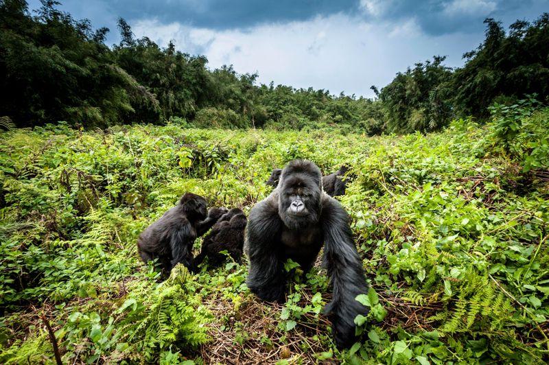 <strong>Gare au gorille.</strong> Le photographe animalier qui a pris ce cliché est un habitué du parc des Volcans, au Rwanda, et il connaît fort bien les sept familles de gorilles des montagnes qui l'habitent. Mais il a tout de même intérêt à travailler au téléobjectif pour saisir le portrait d'un mâle aussi impressionnant que celui-ci, nommé Munyinya. Plutôt paisible de nature, et de toute façon herbivore, le gorille des montagnes peut en effet se montrer très agressif quand on approche de ses femelles et de sa progéniture. Et les biologistes ont calculé qu'avec une taille et un poids comparables à ceux d'un joueur de football américain, unmâle dominant est en réalité dix fois plus fort que lui. Comme quoi, King Kong n'est peut-être pas tout à fait un mythe.