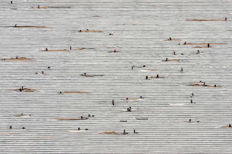 <strong>Ode à l'asperge.</strong> On croirait une partition, griffée dans une lande sablonneuse par des dizaines de travailleurs saisonniers qui la ponctuent de leurs notes colorées, pour le plus grand bonheur de toute l'Allemagne. Car ces champs immenses, où s'effectue une récolte éreintante, sont entièrement dédiés à la culture d'un légume dont les Allemands raffolent: l'asperge blanche,qu'ils ne consomment qu'entre le 14 avril jour de liesse nationale marqué par le passage d'une pyramide de 500 kilos d'asperges sous la porte de Brandebourg, à Berlin et le 24 juin, date de la SaintJean. À peine plus de deux mois, qui leur suffisent pourtant pour engloutir chaque année près de 90.000 tonnes d'asperges, soit trois fois plus que les Français!