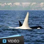 Une orque albinos au large des côtes russes