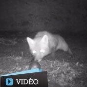 Un renard voleur de boules de pétanque