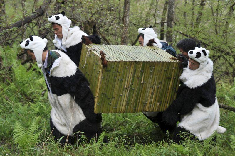<strong>Entraînement.</strong> Ce panda géant va rejoindre définitivement la Réserve naturelle de Wolong, dans la province du Sichuang en Chine. Transporté par des soigneurs chinois qui n'ont pas quitté une seconde leur déguisement de peluche géante, Tao Tao va effectuer sa dernière phase d'adaptation pour pouvoir être rapidement réintroduit dans son environnement naturel. Né le 3 août 2010, il a déjà fait l'objet de deux phases d'apprentissage pour se nourrir seul et apprendre à ne plus dépendre de l'homme. D'où la nécessité de ne pas l'habituer à sa présence.