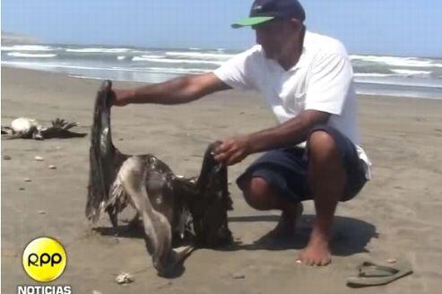 Le président des pêcheurs de Puerto Eten montre l'un des cadavres de pélicans. Capture d'écran RPP Noticias.