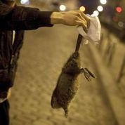 Au secours, les rats reviennent à Paris !