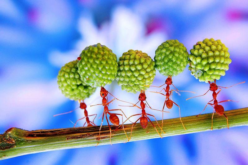 <strong>Dans tous les mandibules.</strong>Dans le monde des fourmis, aucune place n'est laissée à l'improvisation. Tout est réglé comme du papier à musique. Ainsi, ces ouvrières qui transportent des graines de mimosas dix fois plus lourdes qu'elles n'en tirent aucune fierté. Et ne reçoivent aucune gratification de la part des autres membres de la fourmilière. C'est ainsi. Entant qu'ouvrières, elles doivent accomplir chaque jour des exploits pour permettre à la communauté de survivre. D'autres, équipées d'impressionnantes mâchoires, défendent l'entrée du palais et jouent les gardes chiourmes. Certaines ne quittent jamais lanursery, tandis que les plus fortes triment… Chez ces insectes sociaux, le destin est décidé avant la naissance et rien ne peut le changer.
