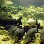 Des piranhas au Musée National d'Histoire Naturelle.