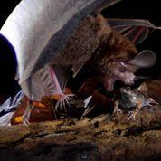 Comment chassent les chauves-souris