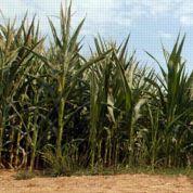 OGM: l'interdiction du MON 810 annulée ?