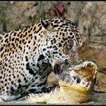 Le jaguar, le roi de la faune.
