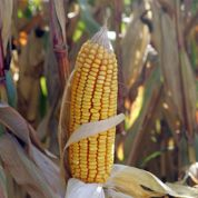 Les OGM perdent une guerre aux États-Unis