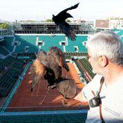 Des faucons contre les pigeons à Roland-Garros