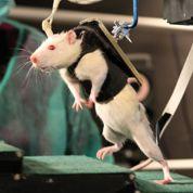 Des rats paralysés marchent à nouveau