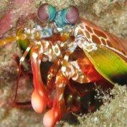 Le «coup de marteau» de la crevette-mante