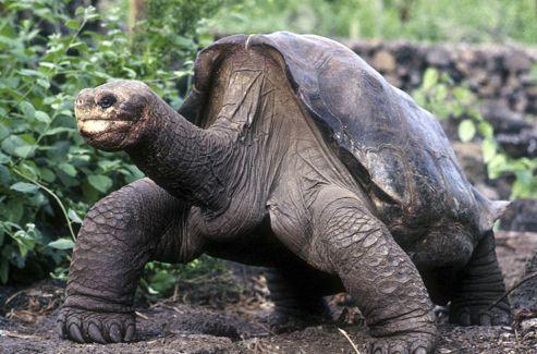 Photo d'archive de Georges le Solitaire dans son enclos sur l'île de Pinta aux Galapagos, en 2001.